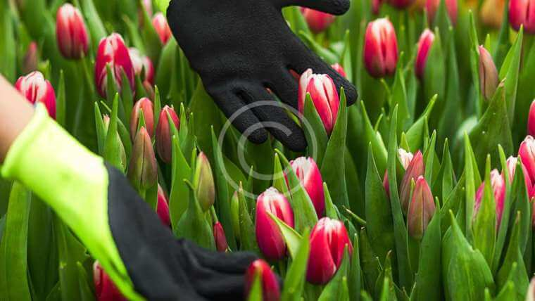 Bulbs in Tulips